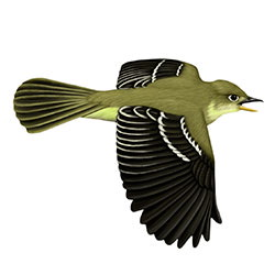 Cordilleran Flycatcher Flight Illustration