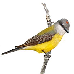 Couch's Kingbird Body Illustration.jpg