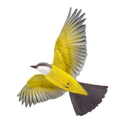 Couch's Kingbird Flight Illustration.jpg