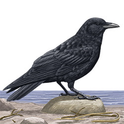 Northwestern Crow Body Illustration