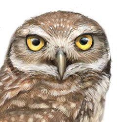 Burrowing Owl Head Illustration.jpg
