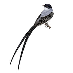 Fork-tailed Flycatcher Body Illustration