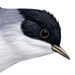 Fork-tailed Flycatcher Head Illustration