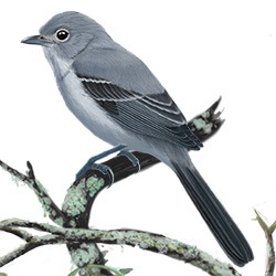 Gray Vireo Body Illustration