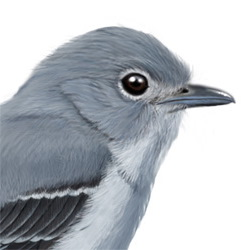 Gray Vireo Head Illustration