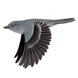 Gray Vireo Flight Illustration