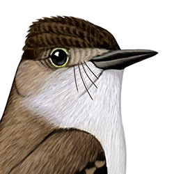 La Sagra's Flycatcher Head Illustration