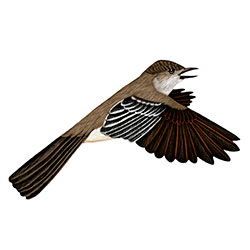 La Sagra's Flycatcher Flight Illustration