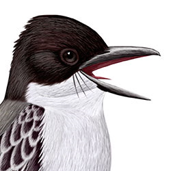Loggerhead Kingbird Head Illustration
