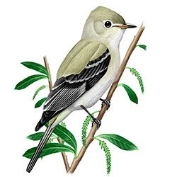 Northern Beardless-Tyrannulet Body Illustration