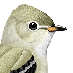 Northern Beardless-Tyrannulet Head Illustration