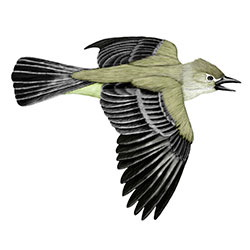 Northern Beardless-Tyrannulet Flight Illustration