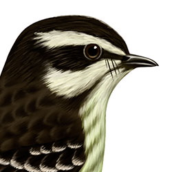 Piratic Flycatcher Head Illustration