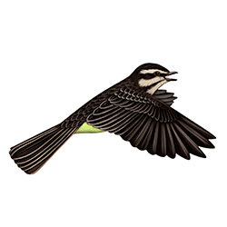 Piratic Flycatcher Flight Illustration