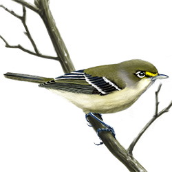 Thick-billed Vireo Body Illustration