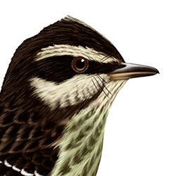 Variegated Flycatcher Head Illustration