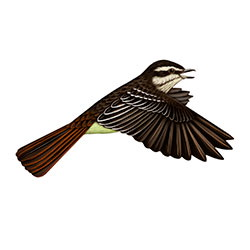 Variegated Flycatcher Flight Illustration