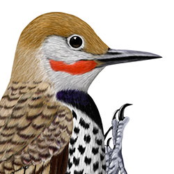 Gilded Flicker Head Illustration