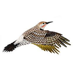 Gilded Flicker Flight Illustration