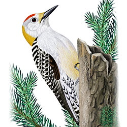 Golden-fronted Woodpecker Body Illustration