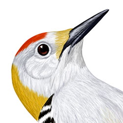 Golden-fronted Woodpecker Head Illustration