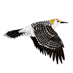 Golden-fronted Woodpecker Flight Illustration