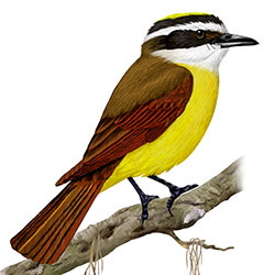 Great Kiskadee Body Illustration