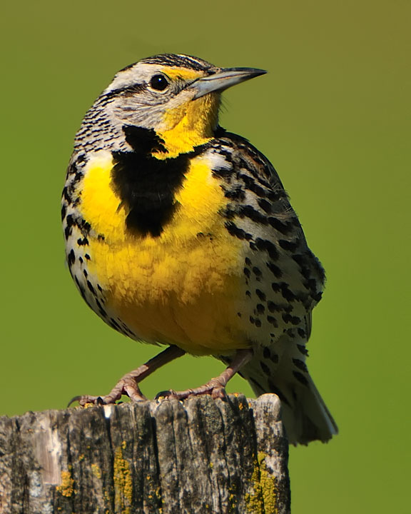 Click Here To Zoom Image. Western Meadowlark Adult 3