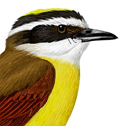 Great Kiskadee Head Illustration