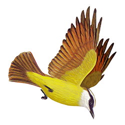 Great Kiskadee Flight Illustration
