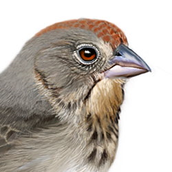 Canyon Towhee Head Illustration