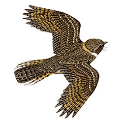 Buff-collared Nightjar Flight Illustration