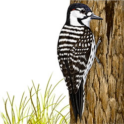 Red-cockaded Woodpecker Body Illustration