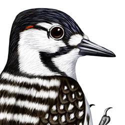 Red-cockaded Woodpecker Head Illustration
