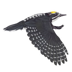 American Three-toed Woodpecker Flight Illustration