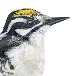 American Three-toed Woodpecker Head Illustration