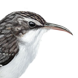 brown creeper coloring pages - photo#50
