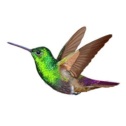 Berylline Hummingbird Flight Illustration