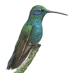 Mexican Violetear Body Illustration