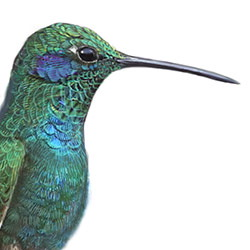 Mexican Violetear Head Illustration