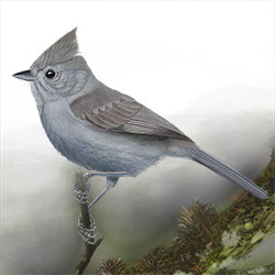 Oak Titmouse Body Illustration