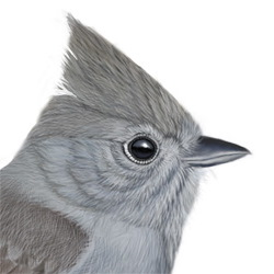 Oak Titmouse Head Illustration