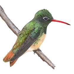 Buff-bellied Hummingbird Body Illustration.jpg