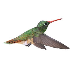 Buff-bellied Hummingbird Flight Illustration.jpg