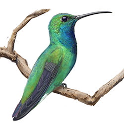 Green-breasted Mango Body Illustration