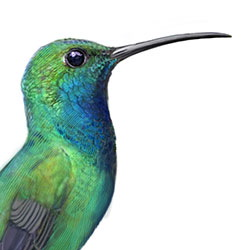 Green-breasted Mango Head Illustration