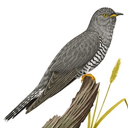 Common Cuckoo Body Illustration