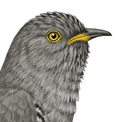 Common Cuckoo Head Illustration