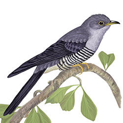Oriental Cuckoo Body Illustration