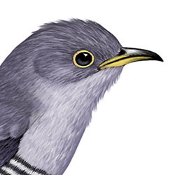 Oriental Cuckoo Head Illustration